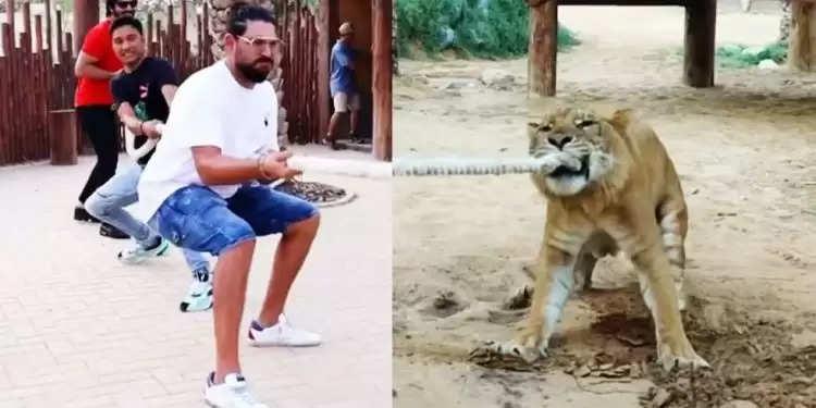 IPL 2021: शेर और बाघ के बच्चे के साथ टग ऑफ वार खेलते हुए नजर आए युवराज सिंह, देखिए किसने मारी बाजी